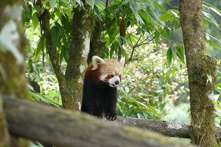 Darjeeling Zoo: Red Panda