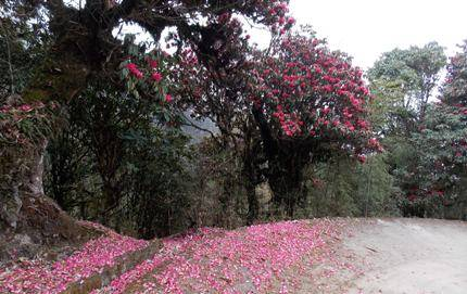 Rhododendrons near Gairibas