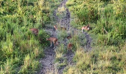 Spotted Deers at Gorumara