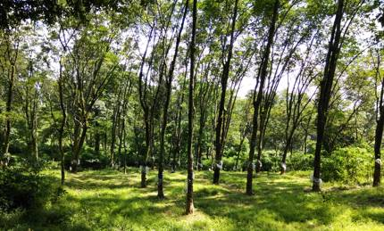 Rubber plantation Dooars
