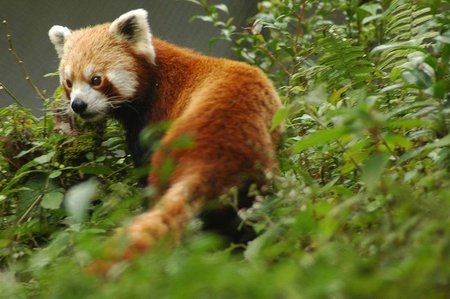 Red Panda in Sikkim